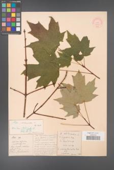 Acer platanoides [KOR 33664]