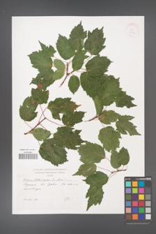 Acer tataricum [KOR 38105]