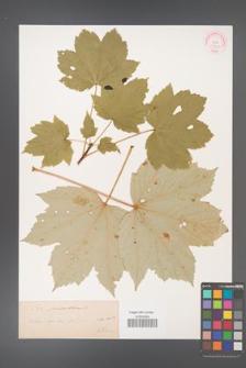 Acer pseudoplatanus [KOR 33663]