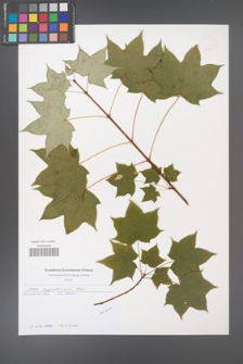 Acer cappadocicum [KOR 49704]