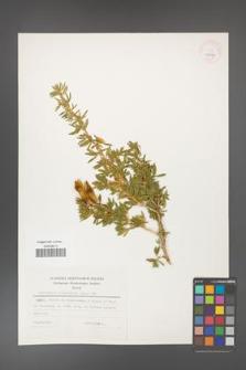 Adenocarpus hispanicus [KOR 25287]