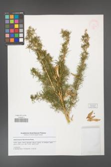 Adenocarpus decorticans [KOR 47817]