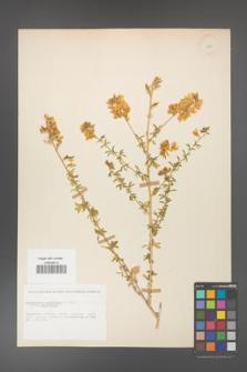 Adenocarpus complicatus [KOR 11605]