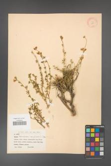 Adenocarpus complicatus [KOR 11601]