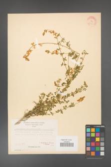 Adenocarpus complicatus [KOR 20943]