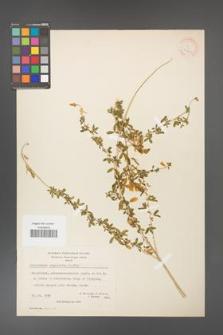 Adenocarpus complicatus [KOR 20942]