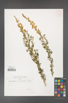 Adenocarpus complicatus [KOR 29782]