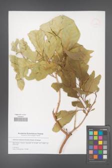 Adenium obesum [KOR 51559]