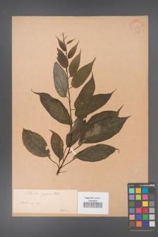 Actinidia purpurea [KOR 33690]