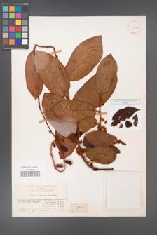 Actinidia melliana [KOR 11612a]
