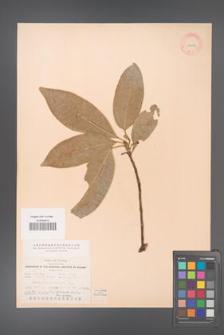 Acronychia laurifolia [KOR 11614a]