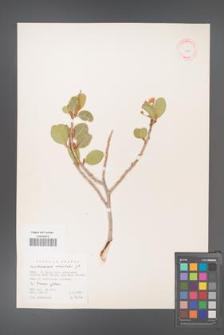 Acridocarpus orientalis [KOR 11614]