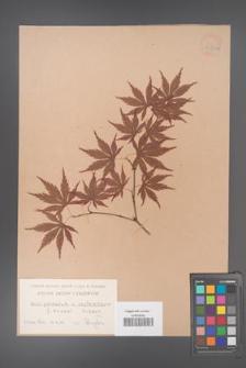 Acer palmatum [KOR 33523a]