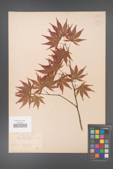 Acer palmatum [KOR 33533]