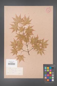 Acer palmatum [KOR 33533b]