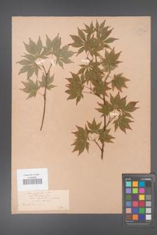 Acer palmatum [KOR 33531a]