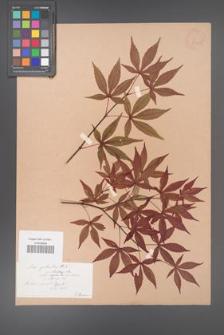 Acer palmatum [KOR 33530]