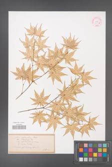 Acer palmatum [KOR 33529c]
