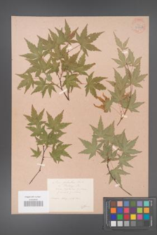 Acer palmatum [KOR 33529b]