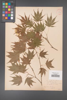 Acer palmatum [KOR 33532]