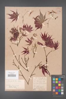 Acer palmatum [KOR 33535a]