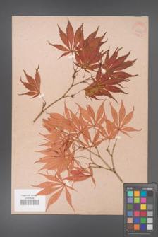 Acer palmatum [KOR 33540]