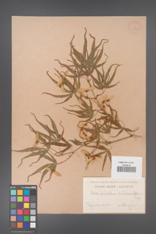 Acer palmatum [KOR 33520]