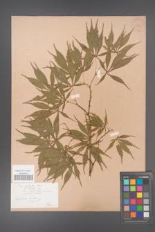 Acer palmatum [KOR 33538]