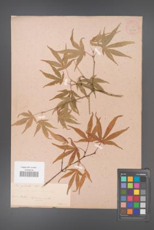 Acer palmatum [KOR 33522]