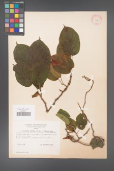 Actinidia arguta [KOR 11610]