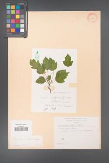 Acer semenovii [KOR 11490]