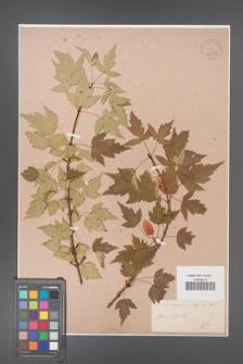 Acer semenovii [KOR 33636]