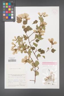 Acer semenovii [KOR 42902]