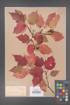 Acer tataricum [KOR 33637]