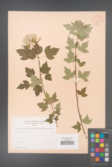 Acer tataricum [KOR 37911]