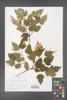 Acer tataricum [KOR 47523]