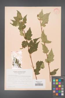 Acer ginnala [KOR 28129]
