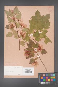 Acer tataricum [KOR 33404]