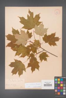 Acer saccharum [KOR 33632]