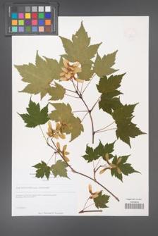 Acer tschonoskii [KOR 49250]