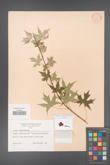 Acer truncatum [KOR 28149]