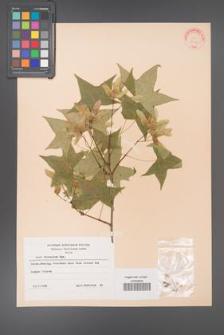 Acer truncatum [KOR 28144]