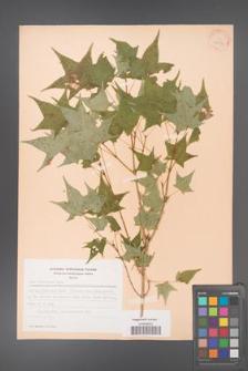 Acer truncatum [KOR 28147]