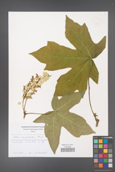 Acer macrophyllum [KOR 49193]