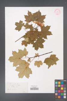 Acer ×zoeschense [KOR 33653]
