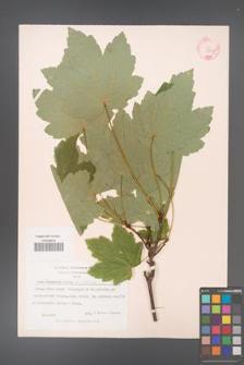 Acer velutinum [KOR 11516a]
