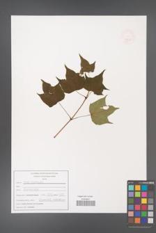 Acer tenellum [KOR 47534]