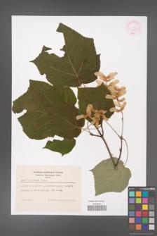 Acer tegmentosum [KOR 44077]