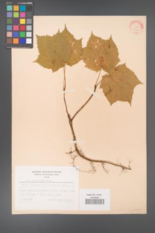Acer tegmentosum [KOR 27143]