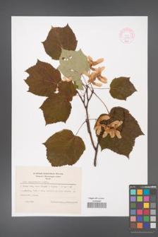 Acer tegmentosum [KOR 44060]